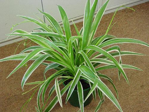 Chlorophytum comosum - Chlorophyte chevelue